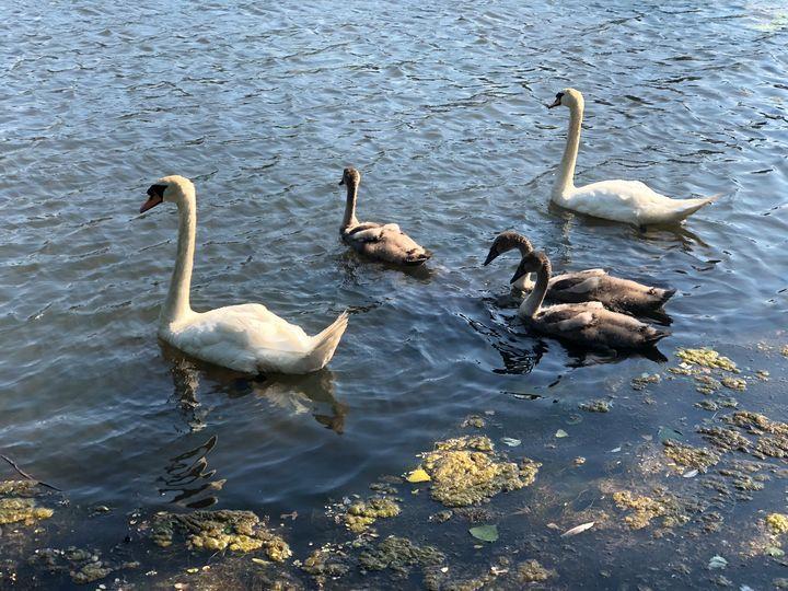 Family of Swans - wikkedjesus