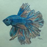 Fancy beta fish art