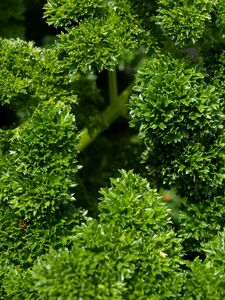 LEAFY GREEN WORLD OF PARSLEY