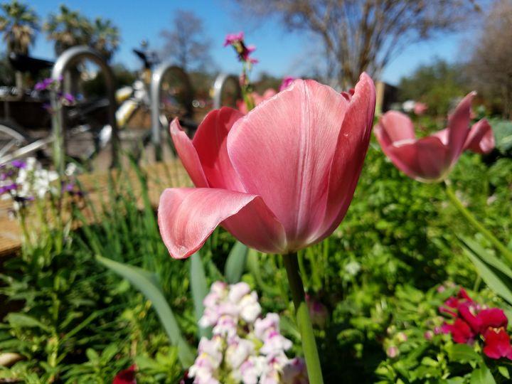 Focused Tulip - ambersartworks