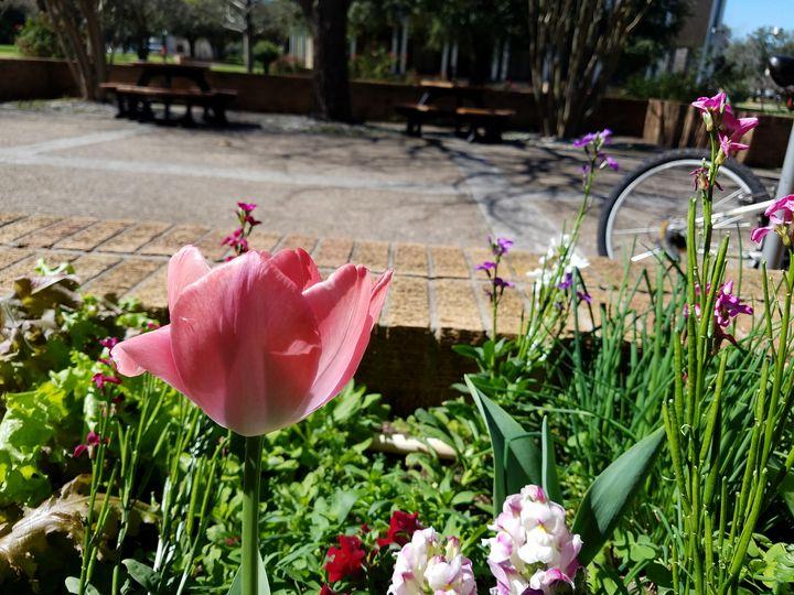 Tulip - ambersartworks