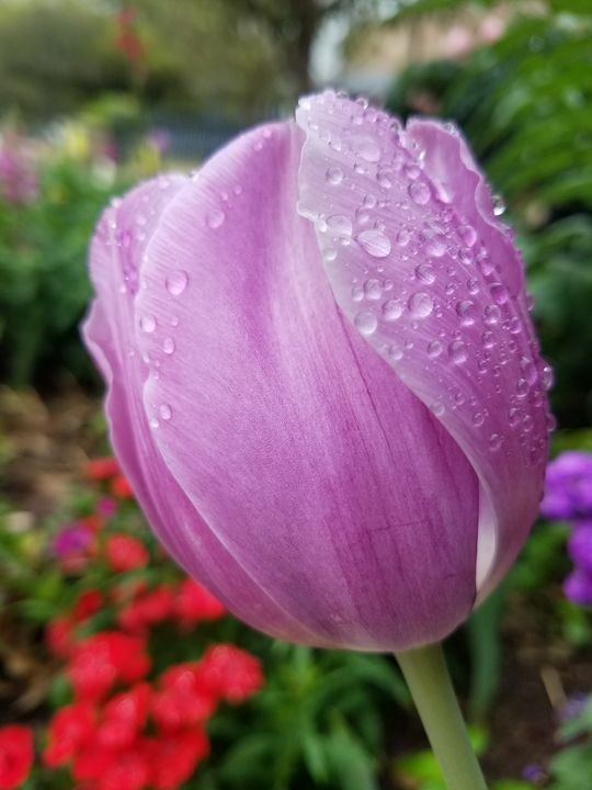 Pink Tulip - ambersartworks