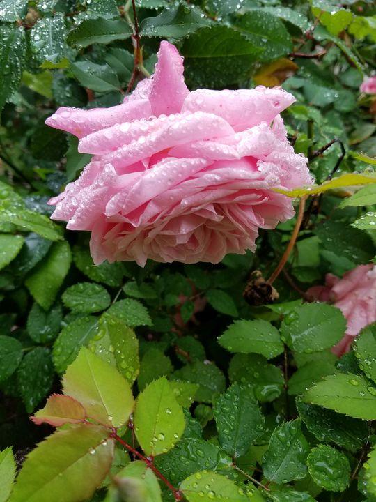 downward rose - ambersartworks