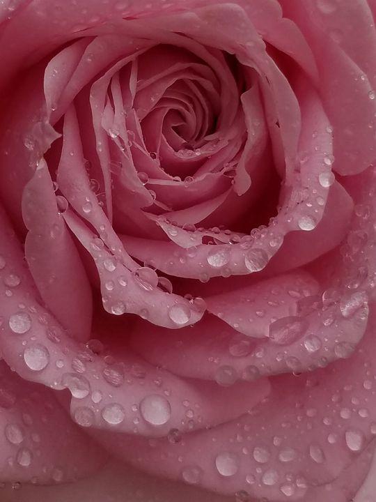 Pink Rose - ambersartworks