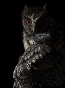 Black and brown barn owl