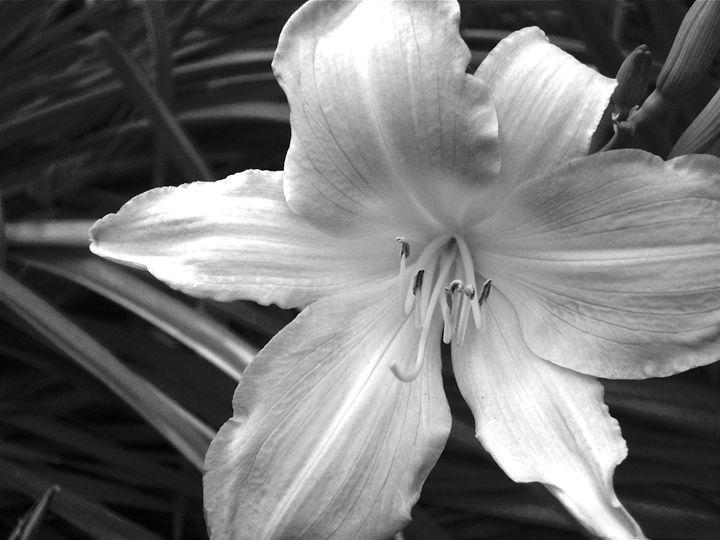 White Lily - Gus's Art