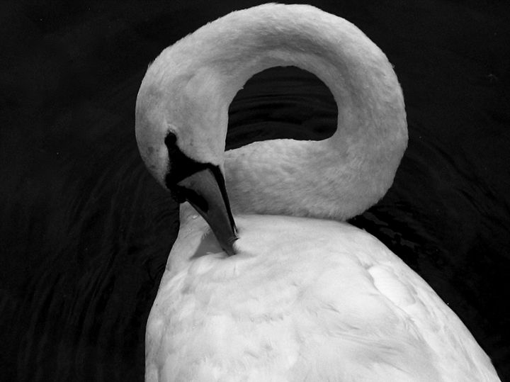 The Swan - Gus's Art