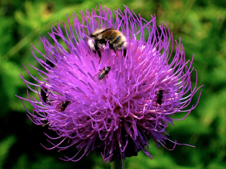 Bee and Thistle - Gus's Art