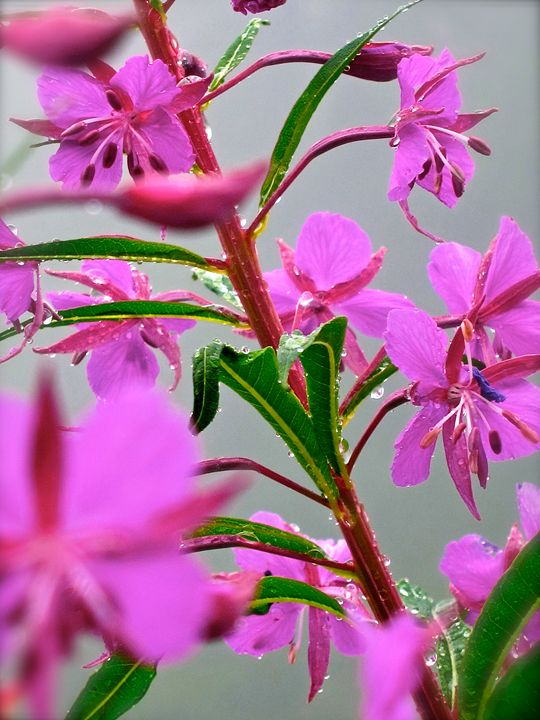 Fireweed - Gus's Art