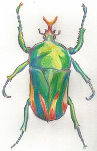 Beetle Drawing