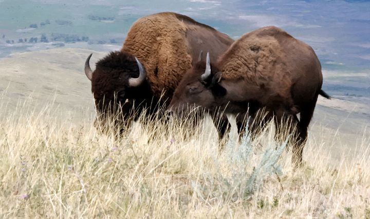 , National Bison Range - Larry Stolle