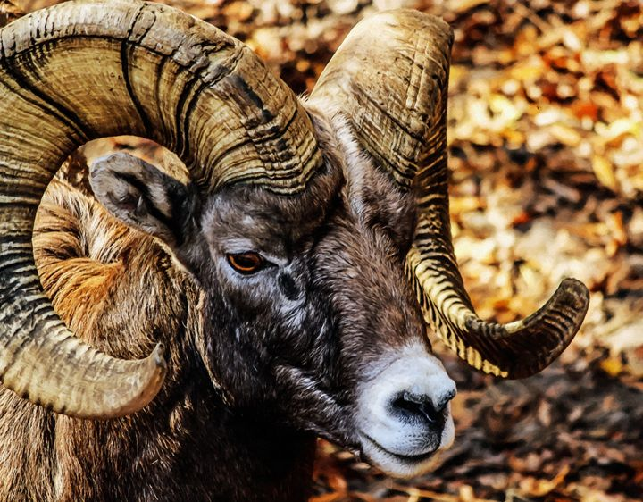 Big horn ram - Larry Stolle