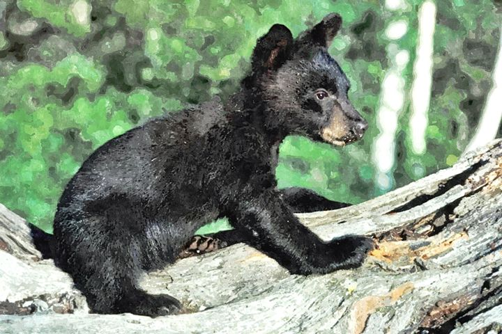 CUB BEAR - Larry Stolle