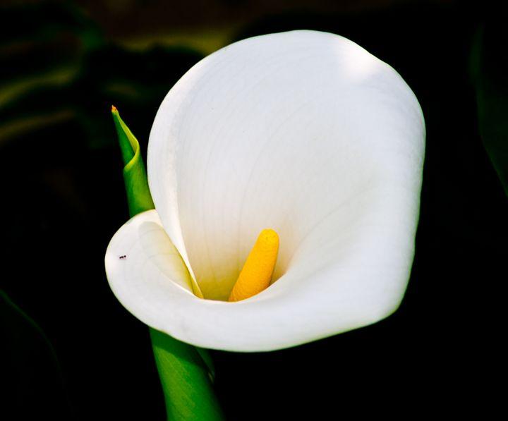 calla lily - BBS Art