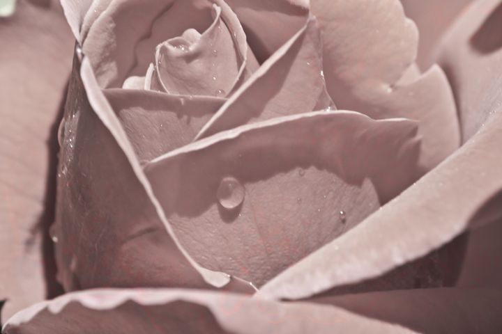 sepia rose - brunopaolobenedetti