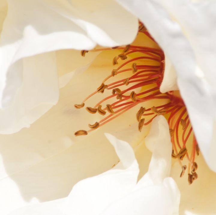 white rose pistils - brunopaolobenedetti