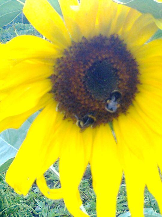 sunflower - Julie Chiveseed