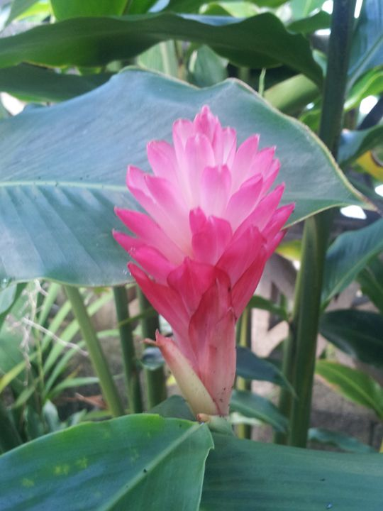 Pink Ginger - Boogiba