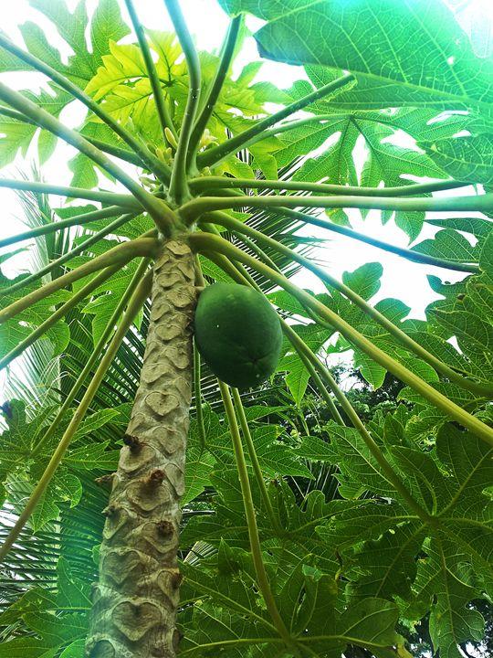 Papaya 131202B - Boogiba