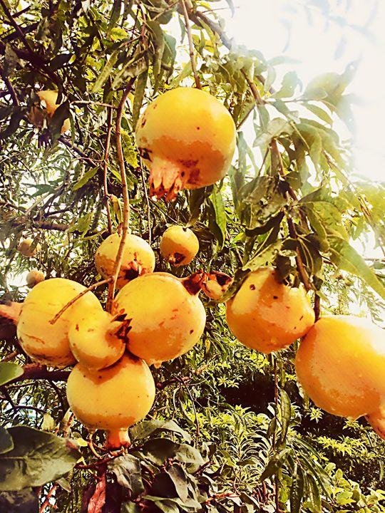 Pomagranate - Boogiba