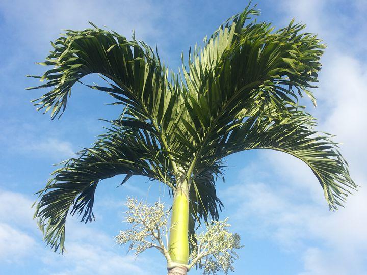 Tall Palm - Boogiba