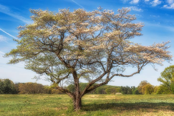 Valley Forge tree 05.26b - Howard Roberts Photography