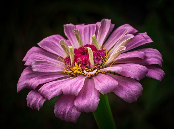 Pink Zinnia 10.27.20d - Howard Roberts Photography