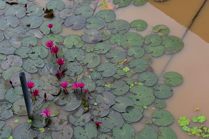 Red lotus flowers in Khwae Yai river - RCRayner