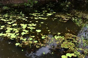 Lily pads in Neak Pean lake