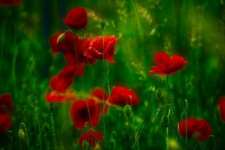 red poppies in the meadow - Jarek Witkowski gallery