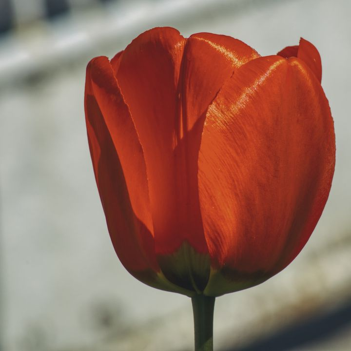 Red tulip in closeup on a white - Jarek Witkowski gallery