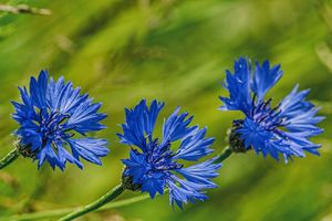 three cornflowers in the meadow
