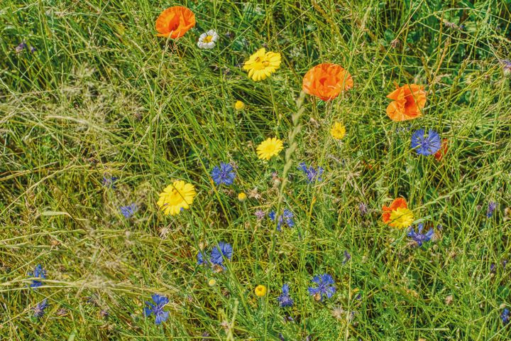 summer meadow with poppies - Jarek Witkowski gallery