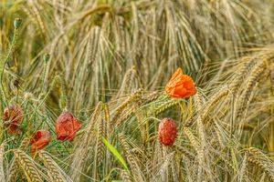 poppies and ears of barley