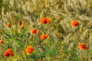 red poppies in the cereal