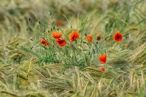 a clump of poppies in barley