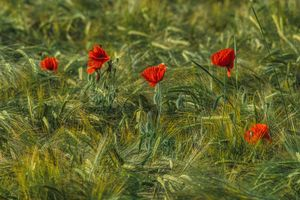 red poppies and barley