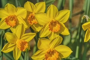 five daffodil flowers