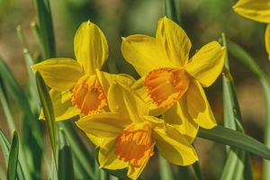 three great daffodils - Jarek Witkowski gallery
