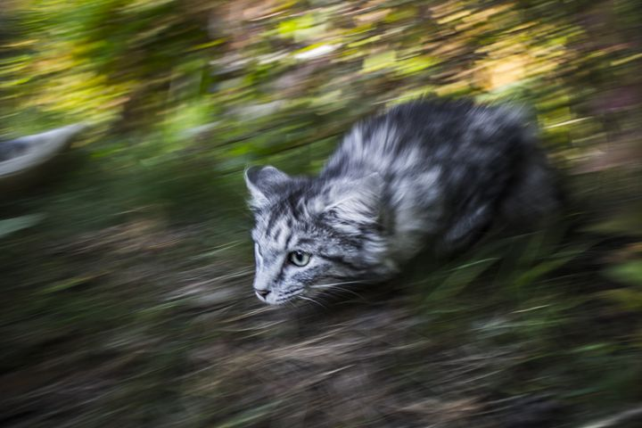Cat with focus - Inglund Photography