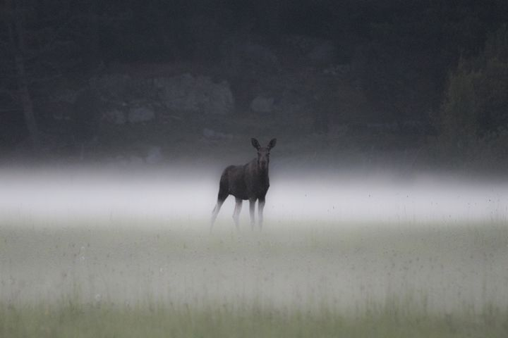 Elk in the mist - Inglund Photography
