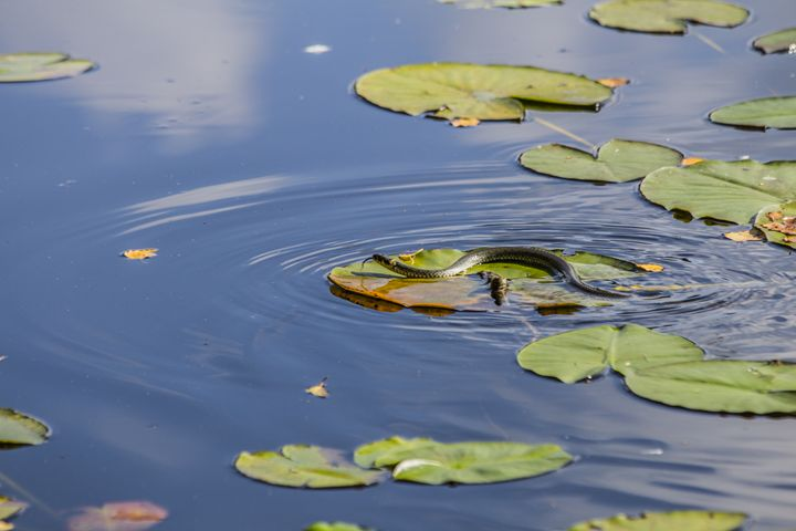 snake in a pon - Inglund Photography