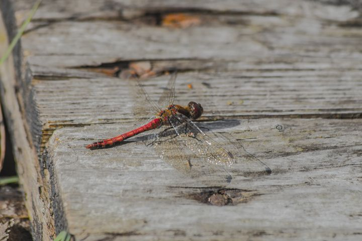 Resting dragonfly - Inglund Photography