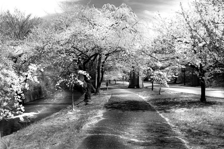cherry blossoms in park - peggy loughlin