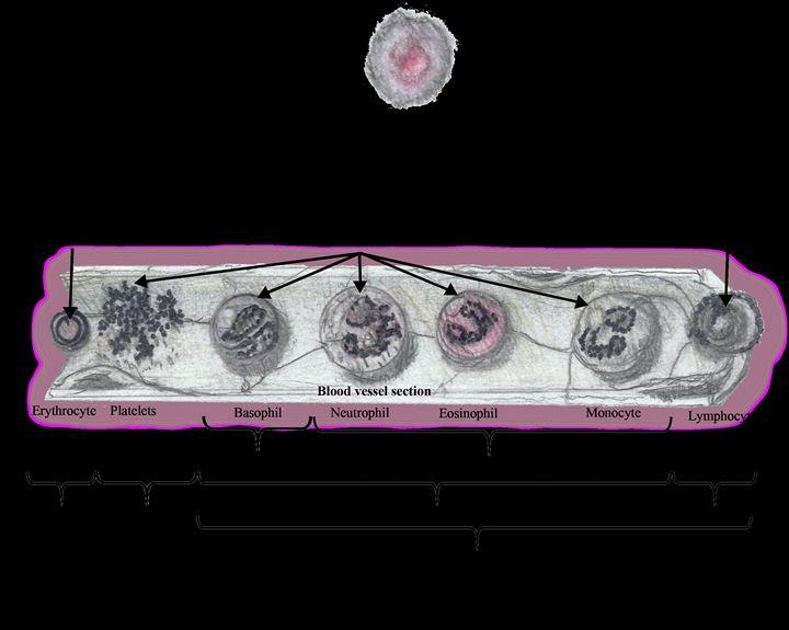 Blood Stem Cells - Hidden Code Studios