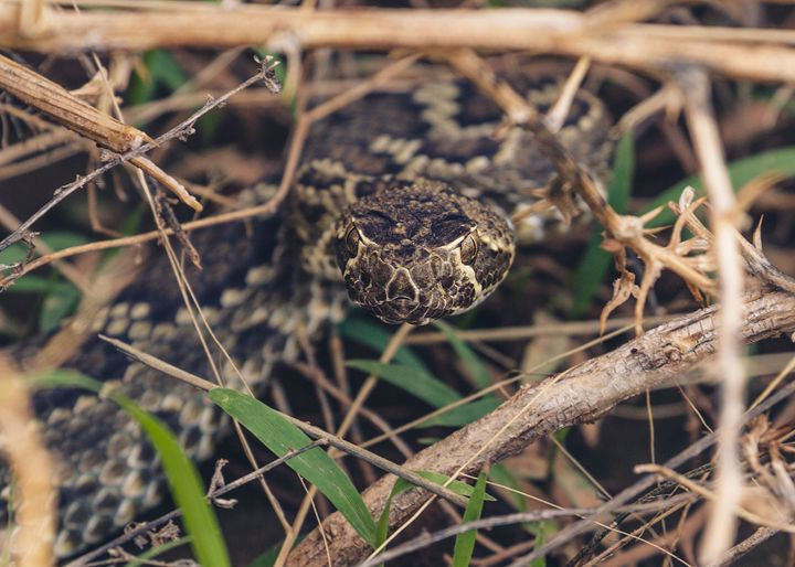 Mohave Rattlesnake - Images by Gina Banes