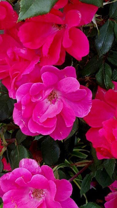 Pink flowers - Alice's landscape photos