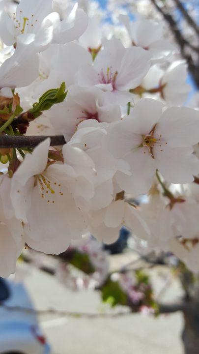 Cherry blossoms - Alice's landscape photos
