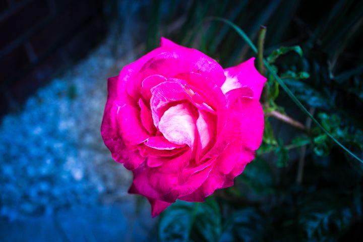 The Rose for you - David Jones