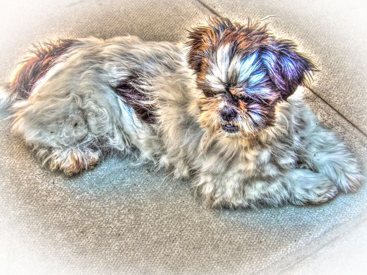 Scruffy Shih Tzu - David Jones